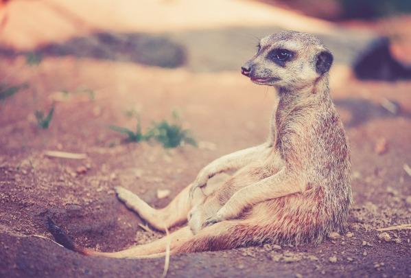 meerkat-459171_1920