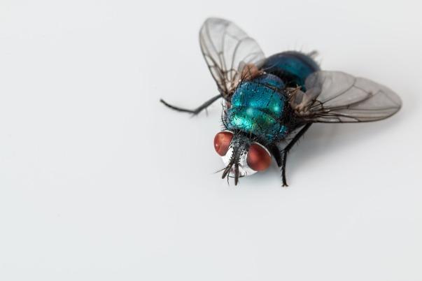 blowfly-2151453_1920