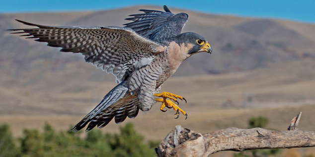peregrine-falcon_dawnkey-istock